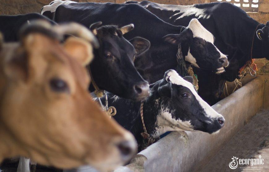 cow farm in wildernest bandipur