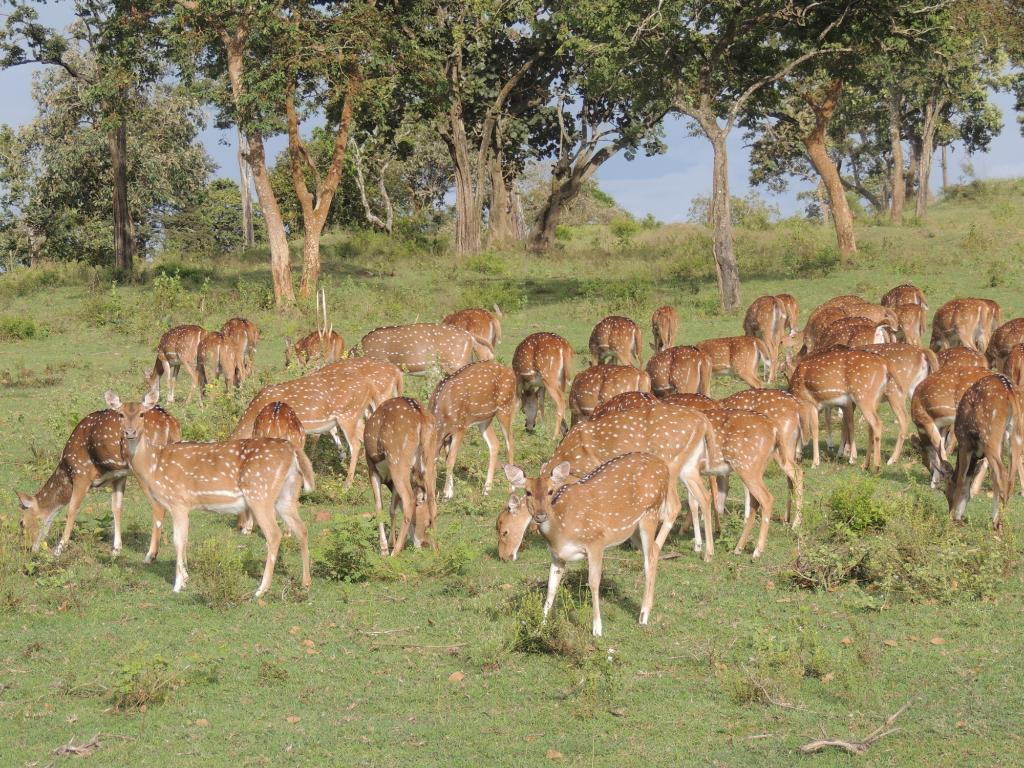 deers in bandipur forest stay