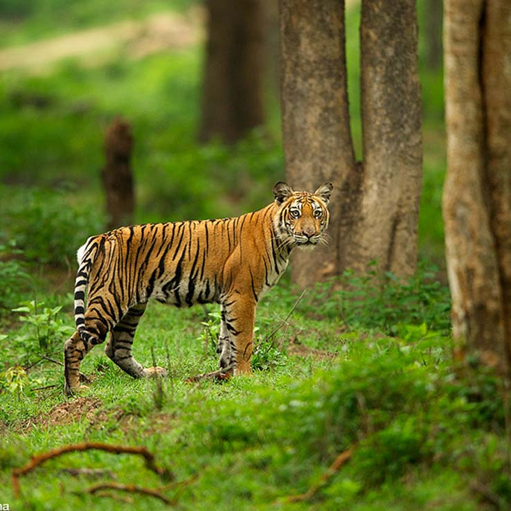 tiger in bandipur forest stay